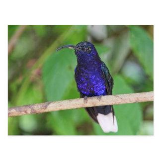 Cartão Postal Colibri tropical