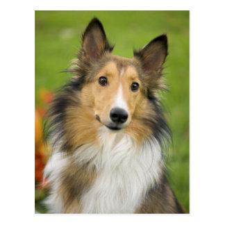 Cartão Postal Collie áspero, cão, animal