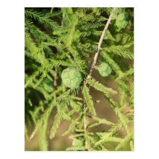 Cartão Postal Cone da semente de Cypress calvo