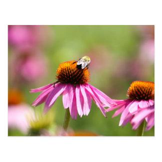 Cartão Postal Coneflower e abelha do mel