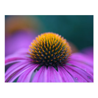 Cartão Postal Coneflower roxo (purpurea do Echinacea)