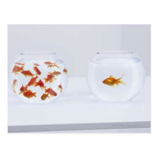 Cartão Postal Contraste dos muitos peixe dourado no fishbowl e