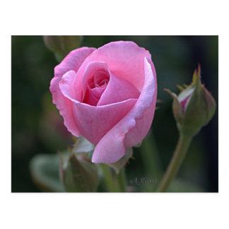 Cartão Postal Cor-de-rosa Aumentação da tia Dorothy