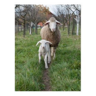 Cartão Postal Cordeiro e carneiros