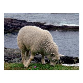 Cartão Postal cordeiro no litoral sul selvagem remoto de Devon