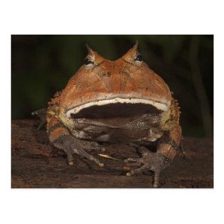 Cartão Postal Cornuta Horned de Ceratophrys do sapo de Amazon).