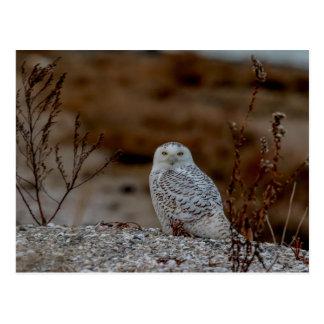 Cartão Postal Coruja nevado que senta-se em uma rocha