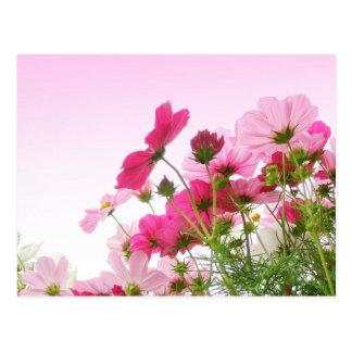 Cartão Postal Cosmos no rosa
