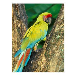 Cartão Postal Costa Rica, Ara Ambigua, grande Macaw. verde