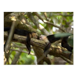 Cartão Postal Costa Rica, dois macacos que descansam na árvore,