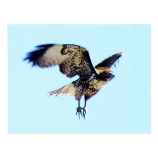 Cartão Postal costume Vermelho-atado do falcão em vôo