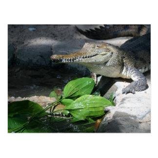 Cartão Postal Crocodilo de água doce