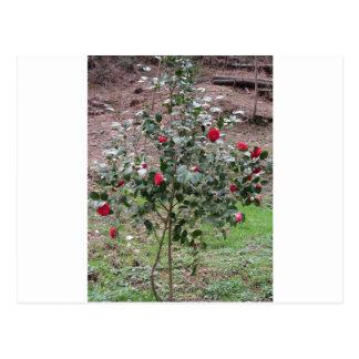 Cartão Postal Cultivar antigo da flor do japonica da camélia