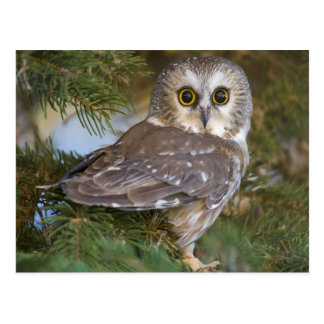 Cartão Postal Cute Owl on fir tree