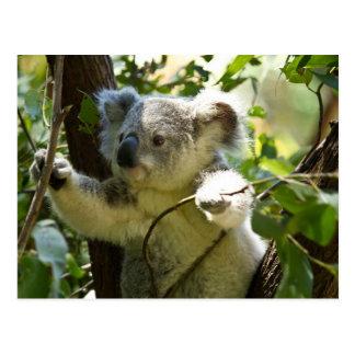 Cartão Postal Cutie do Koala