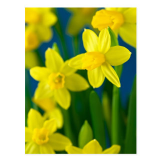 Cartão Postal Daffodils