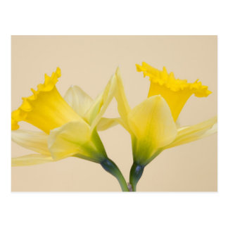 Cartão Postal Daffodils amarelos