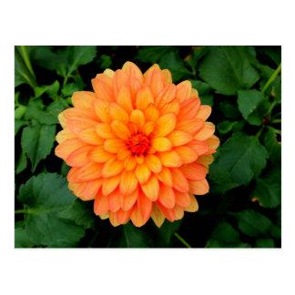 Cartão Postal Dália alaranjada - flor e jardim