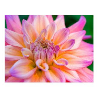 Cartão Postal Dália cor-de-rosa e de creme