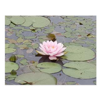 Cartão Postal De Lotus da flor zen floral da lagoa do rosa