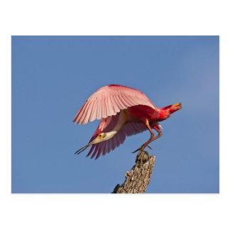 Cartão Postal Descolagem do spoonbill róseo