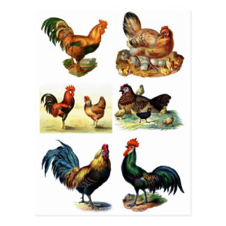 Cartão Postal design das galinhas do vintage