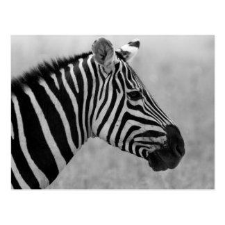 Cartão Postal Design preto e branco selvagem bonito da zebra