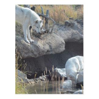 Cartão Postal Destino dos lobos do parque natural do amor da paz