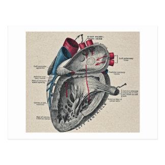 Cartão Postal Diagrama anatômico do coração da arte do vintage -