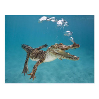 Cartão Postal Diving crocodile