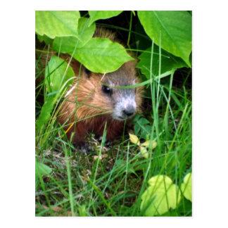 Cartão Postal Do bebê pequeno Marmotte casca Quebeque Canadá de