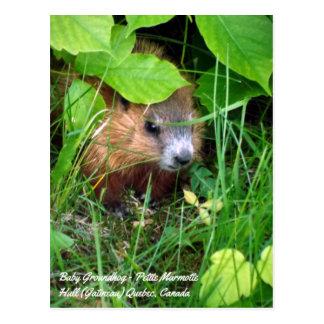 Cartão Postal Do bebê pequeno Marmotte primavera de Groundhog em