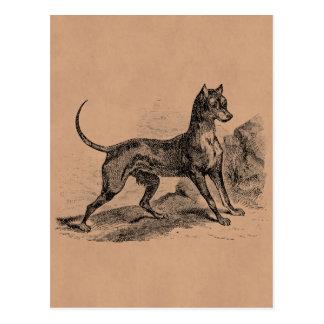 Cartão Postal Dobermans dos 1800s do cão de Terrier do Doberman