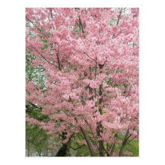 Cartão Postal Dogwood de florescência cor-de-rosa