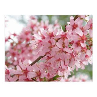 Cartão Postal Dogwoods cor-de-rosa