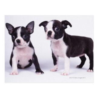 Cartão Postal Dois filhotes de cachorro preto e branco
