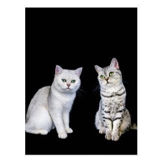 Cartão Postal Dois gatos britânicos do cabelo curto no fundo