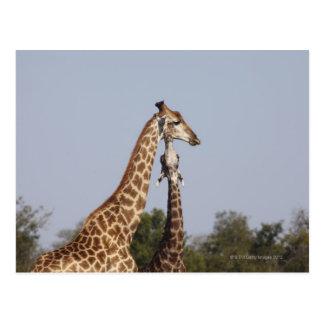 Cartão Postal Dois girafa, parque nacional de Kruger, África do