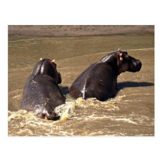 Cartão Postal Dois hipopótamos