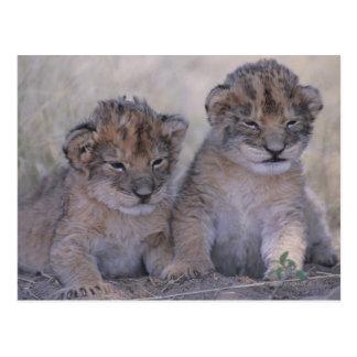 Cartão Postal Dois leão Cubs