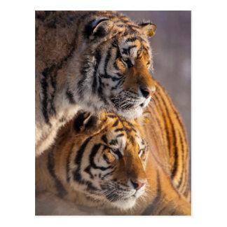 Cartão Postal Dois tigres Siberian junto, China