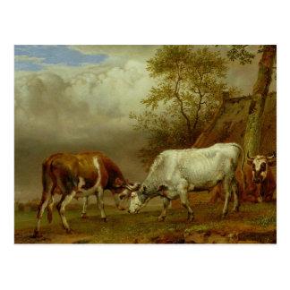 Cartão Postal Dois touros com chifres fechados, 1653