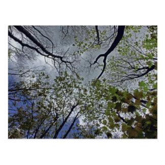 Cartão Postal Dossel de árvore na primavera