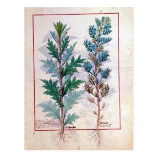 Cartão Postal Duas variedades de Artemesia