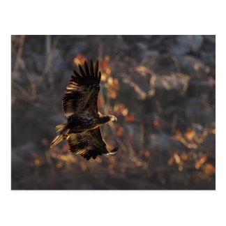 Cartão Postal Eagle na hora dourada