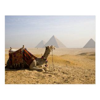 Cartão Postal Egipto, o Cairo. Um camelo solitário olha através