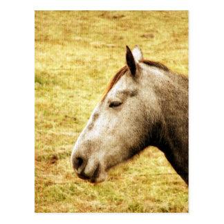 Cartão Postal Égua cinzenta