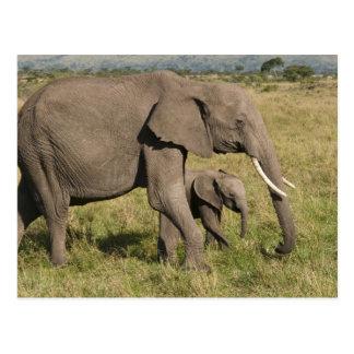 Cartão Postal Elefante africano e filhote (africana do