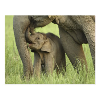 Cartão Postal Elefante indiano/asiático e jovens um, Corbett 2