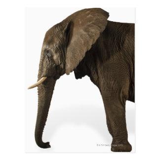 Cartão Postal Elefante no fundo branco, vista lateral